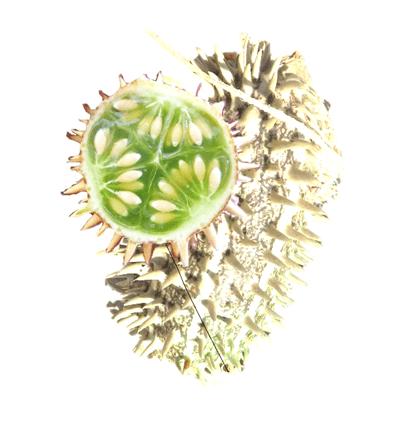 Wild cucumber gfn 1