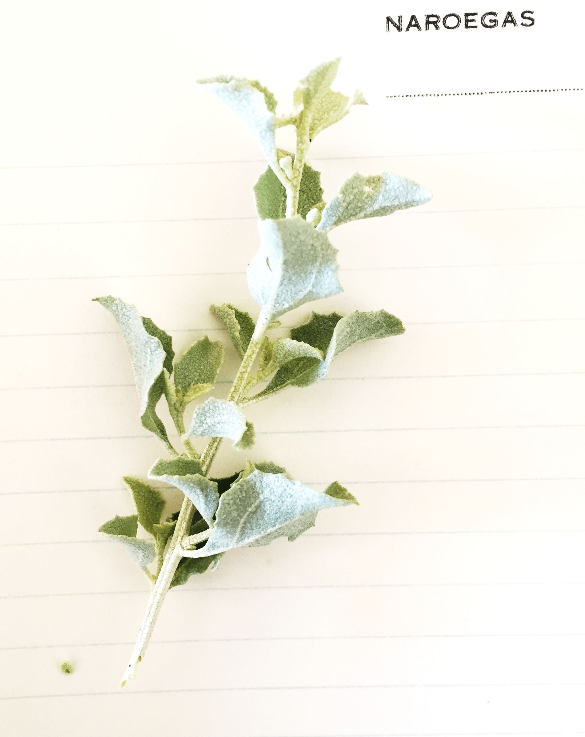 Salt bush on farm paper 1