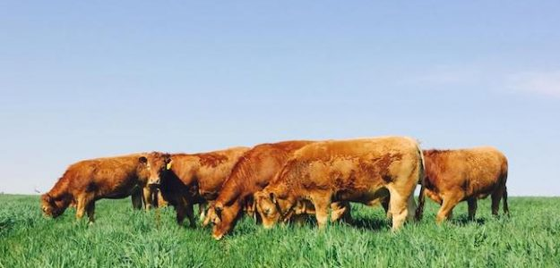 cropped Devlan Limousins free range grass fed cattle banner
