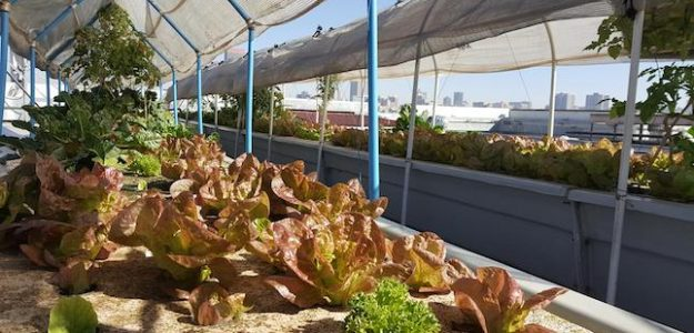 cropped Rooftop Roots urban agriculture banner