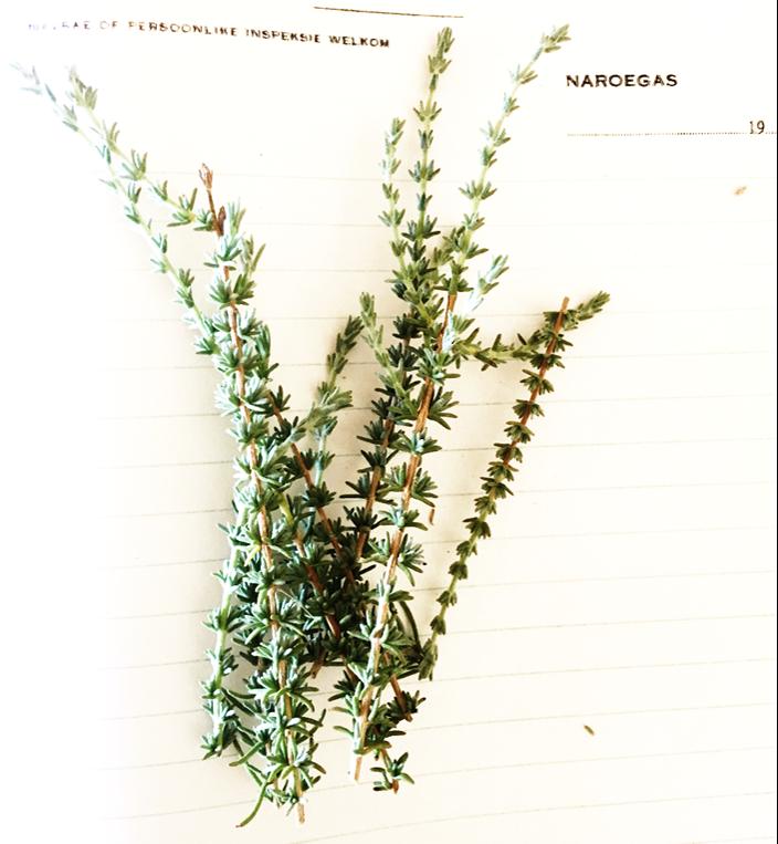 Wild rosemary koppie 1