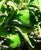 Pepper, Green (250 g)