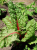 Red Spinach (250 g)