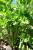 Soup Celery (250 g)
